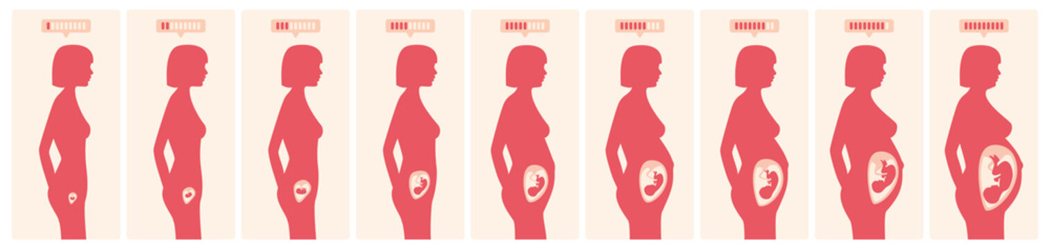 The growth of a human fetus in weeks and months in vector format