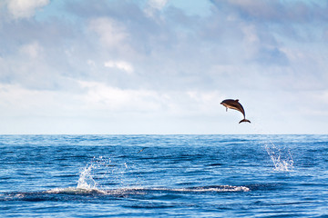 Dolphin jumping high out of the water at the Azores