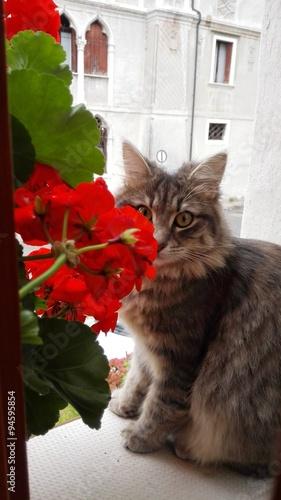 Gatto in finestra che si nasconde dietro ai fiori stock photo and royalty free images on - Finestra che si apre ...