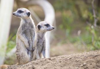 Two Meerkats (Suricata suricatta)