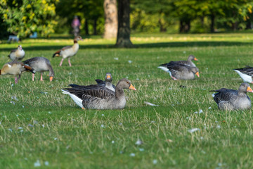 Greylag Geese & Feathers in the Park