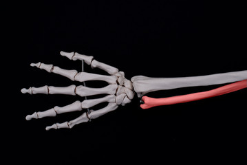 Ulna Bone