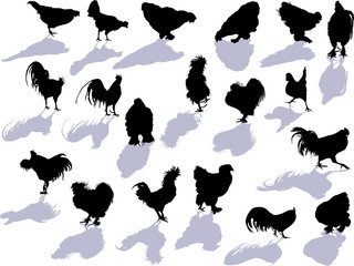 nineteen chicken silhouettes and shadows isolated on white