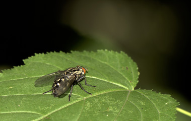 Fly on a green leaf, close up