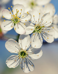 apple blossoms  in sunlight
