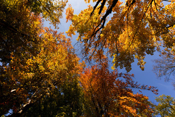 autumn tree top on blue sky