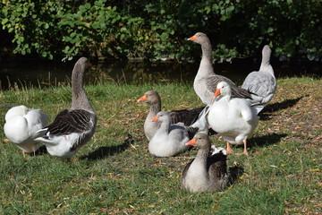 Domestic geese - Gänseherde