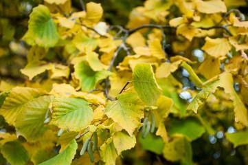 feuilles de noisetier en automne