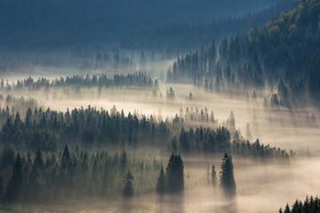 Świerkowy las na wzgórzach we mgle