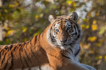 Resting Indian Tiger