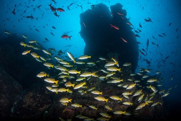 Wall Mural - Schooling Snapper at Cocos Island