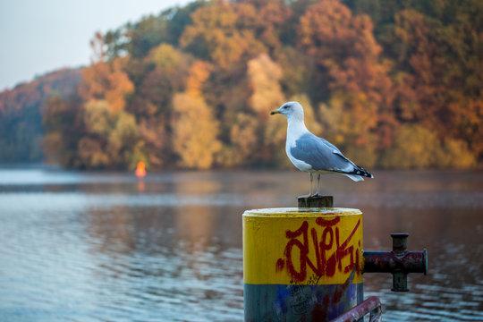 Möwe am Griebnitzsee in Potsdam