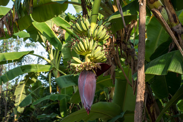 Bananas and banana blossom on the tree.
