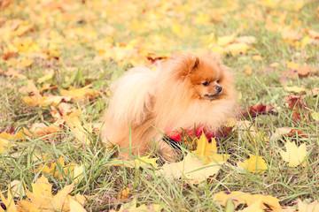 Funny autumn pomeranian dog. Dog in autumn park. Pomeranian in autumn yellow leaves. Serious dog.
