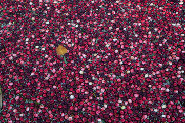 Floating cranberries and a leaf during harvest in Muskoka Region of Ontario, Canada
