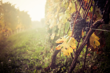 Wall Mural - Bunch of grapes in vineyard in autumn