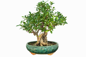 banyan bonsai