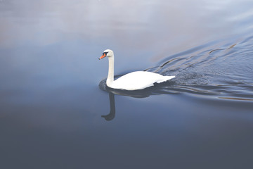 A beautiful swan is swimming on a silent river. Image is taken above the bird and has a vintage effect applied.