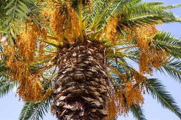big palm tree with fruits closeup