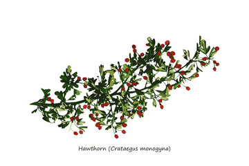 Hawthorn Branch Illustration