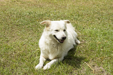 Stray dog on grass field - white Dog - white dog close up (thai dog)