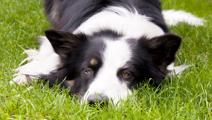 Adult male border collie lies on the grass