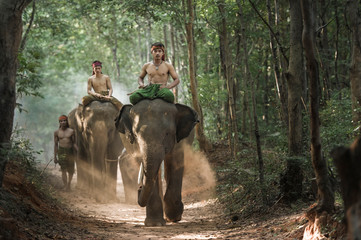 Mahout shepherd Elephant in forest at Elephant Village Thailand. Conservation of Animals Asia.