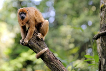 Black Howler Monkey on top of a Tree Branch