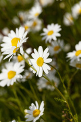 Foto op Canvas Madeliefjes white daisy . close-up