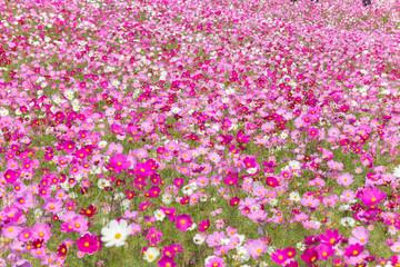 ピンクのコスモス(秋桜)