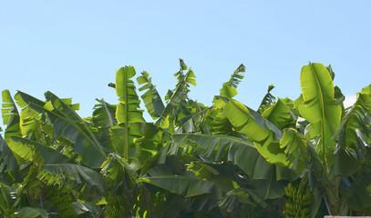 Banana trees plantation in Tenerife,Canary Islands.