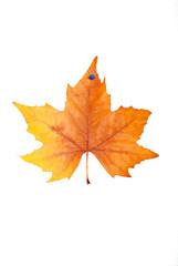 beautiful colorful autumn maple leaf