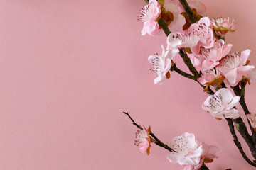 flowering branches of cherry (sakura) on a pink background