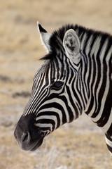 portrait Damara zebra, Equus burchelli
