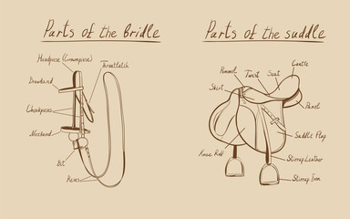 Parts of a saddle and bridle, vector.  The terms of the equestrian equipment.
