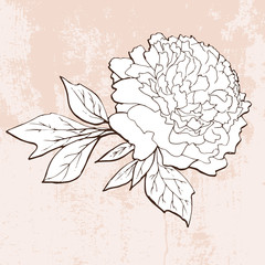 Hand drawn peony on grunge background
