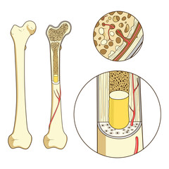 Bone structure medical educational vector