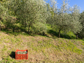 Olive grove harvest. Italy.