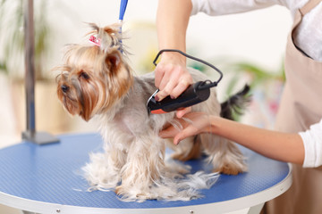 Yorkshire terrier is being trimmed