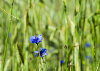 cornflowers on the field