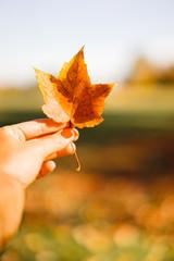 Orange autumn leaf in the hand