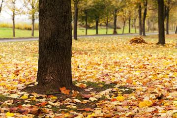 autumn leaves  .  closeup