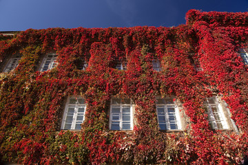 red ivy on a building