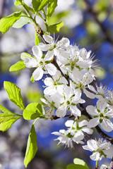 cherry blossom .  close-up
