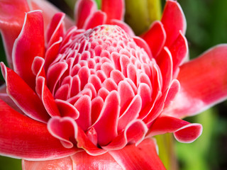 Closeup red torch ginger flower ( Etlingera elatior).