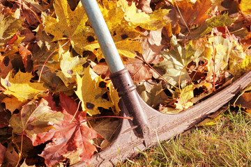 Raking fallen autumn leaves