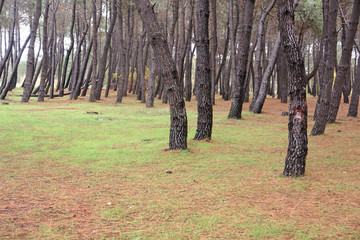 pine forest 4
