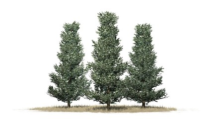 Fraser fir trees winter - isolated on white background