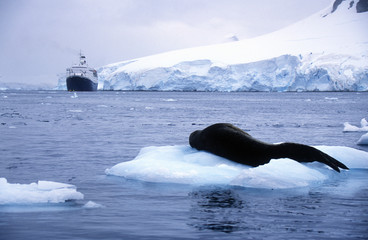 Southern sea lion sleeping on ice floe with glaciers and icebergs in Paradise Harbor, Antarctica