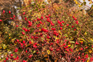 display of Rosehips on wild rose bush
